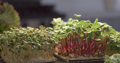 tablefarm-smart-indoor-microgarden-delivers-fresh-greens-countertop-full1